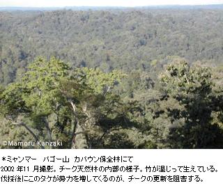 *ミャンマー バゴー山 カバウン保全林にて2002 年11 月撮影。チーク天然林の内部の様子。竹が混じって生えている。伐採後にこのタケが勢力を増してくるのが、チークの更新を阻害する。