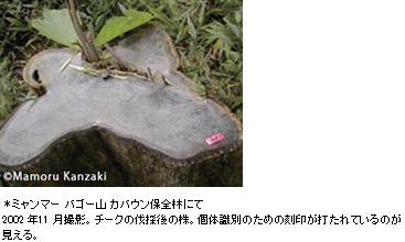 リゾート家具に使われるミャンマーチークの切り株 ミャンマー バゴー山 カバウン保全林にて2002 年11 月撮影。チークの伐採後の株。個体識別のための刻印が打たれているのが見える。