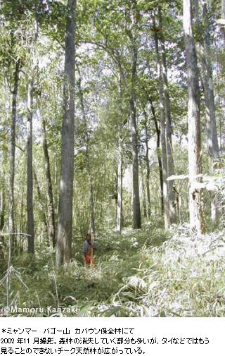 ミャンマー バゴー山 カバウン保全林にて2002 年11 月撮影。森林の消失していく部分も多いが、タイなどではもう見ることのできないチーク天然林が広がっている。